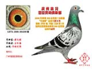 鸽子吃东西,怎么用嘴咀嚼那多大啊!: 天下鸽问