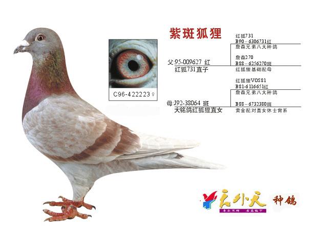 鸽子鸽教学动物图示鸟鸟类623_458鳄鱼v鸽子游戏图片