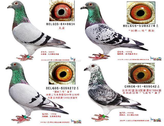 关于鸽子配对图片