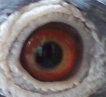全眼志鸽子 鸽子眼志配对 信鸽眼志配对图解