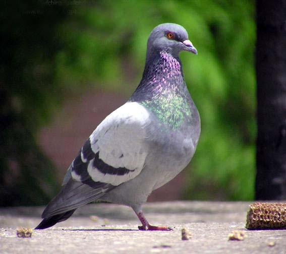 鸽子鸽如来鸟动物567_504狮子吼鸟类正觉图片