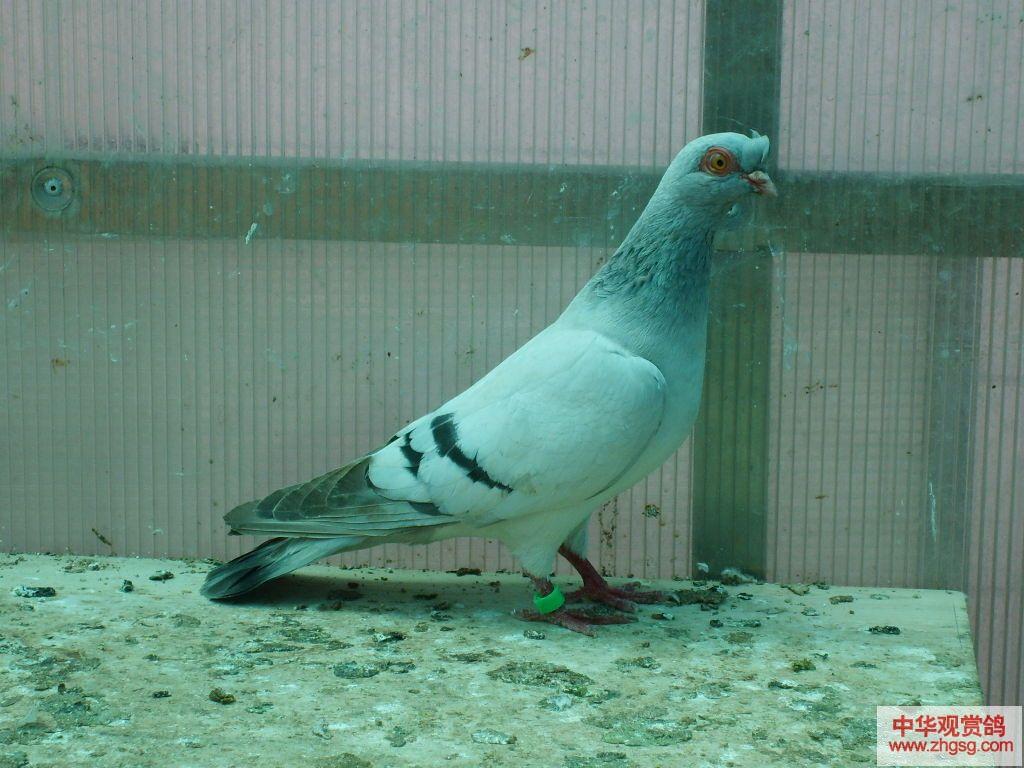 观赏鸽二头乌 鸽子品种大全图片 两头乌观赏鸽图片 两头乌爱飞