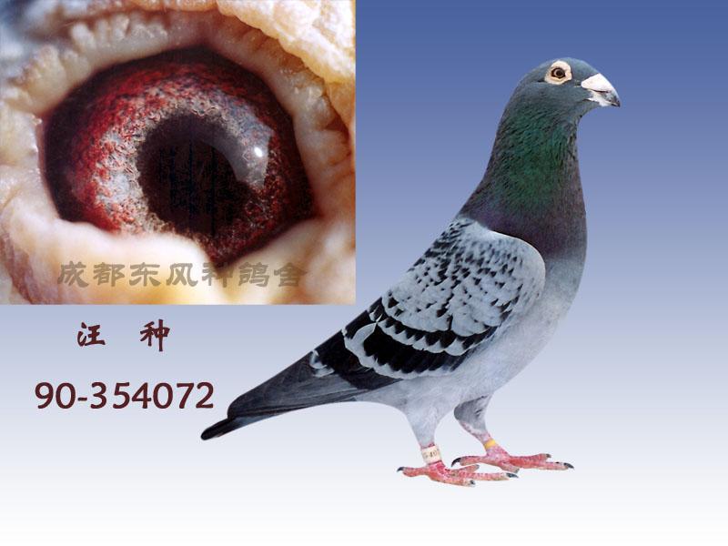 """90年代的信鸽""""李鸟"""",""""吴淞鸟""""等信鸽的统称."""
