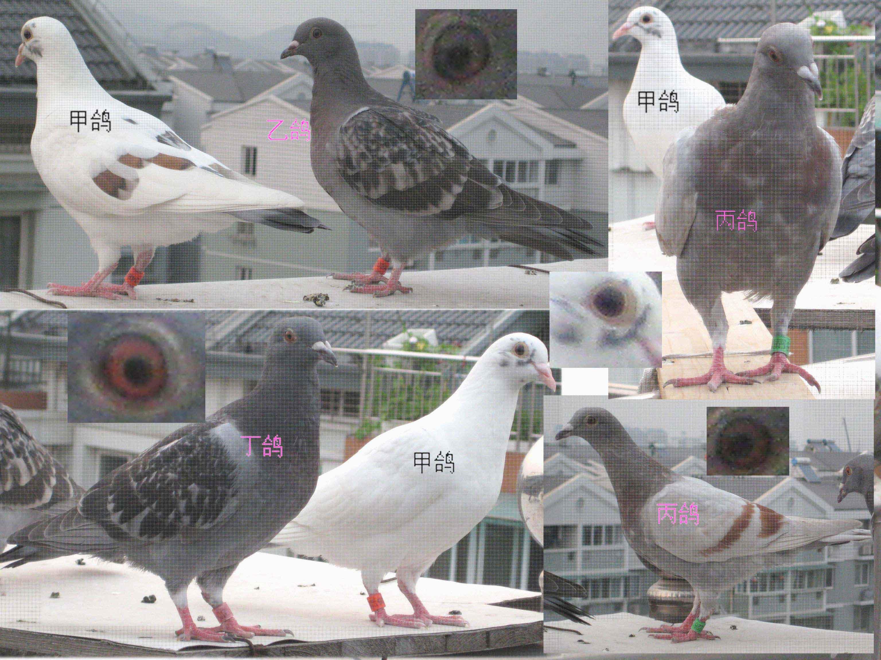 幼鸽怎么分公母图解 鸽公母鉴别方法图解 乌龟怎么分公母图解图片