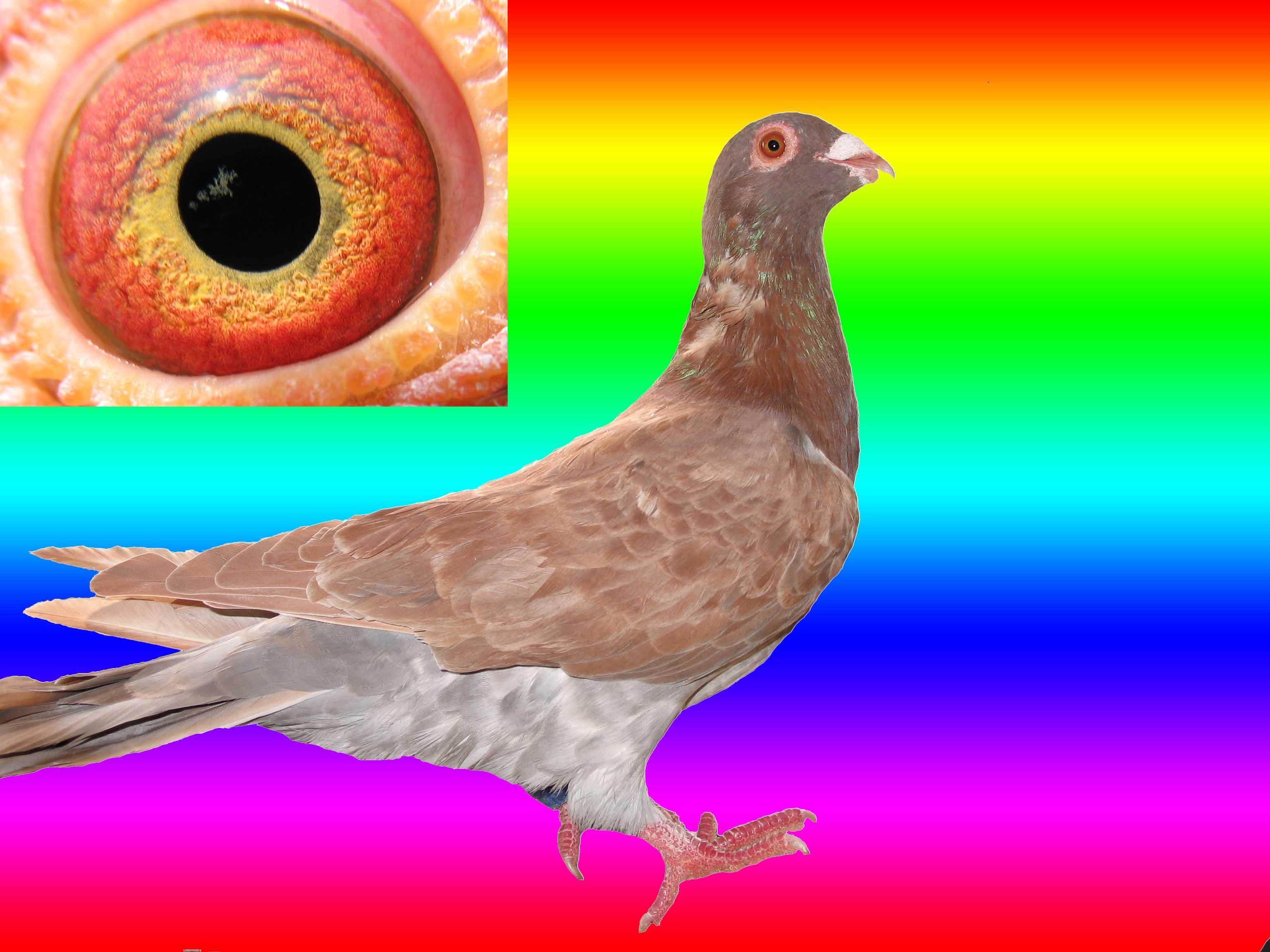 信鸽眼志的好坏监别图解