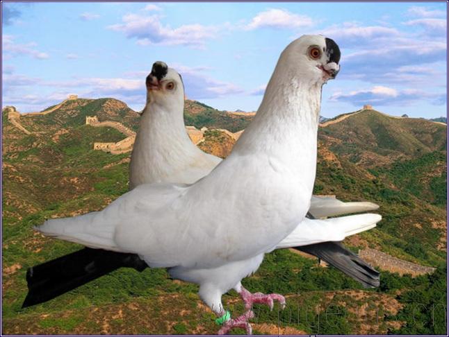 观赏鸽点子图片_鸽子白身,黑尾,代黑发,短嘴大鼻子是什么品种-天下鸽问-ask ...