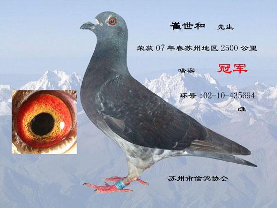 伦巴和军用鸽系血统-美国军用鸽 其实鸽子是用来飞的,不是用来看的图片