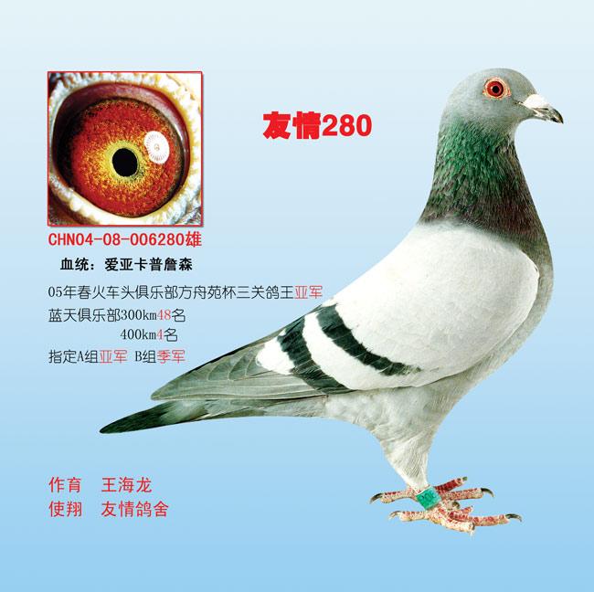 鸽子的品种