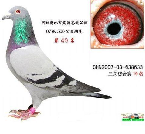 偶然得到一只鸽子,望大家看看怎么样,眼睛配一个什么样的好图片