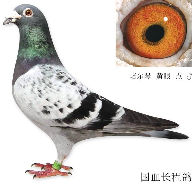 鸽子品种大全图片图片大全 中国最重的鸽子品种图片