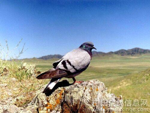 最开始的鸽子颜色是黑色,和绛色吗 还有其他原始色吗 ,雨点和灰都图片