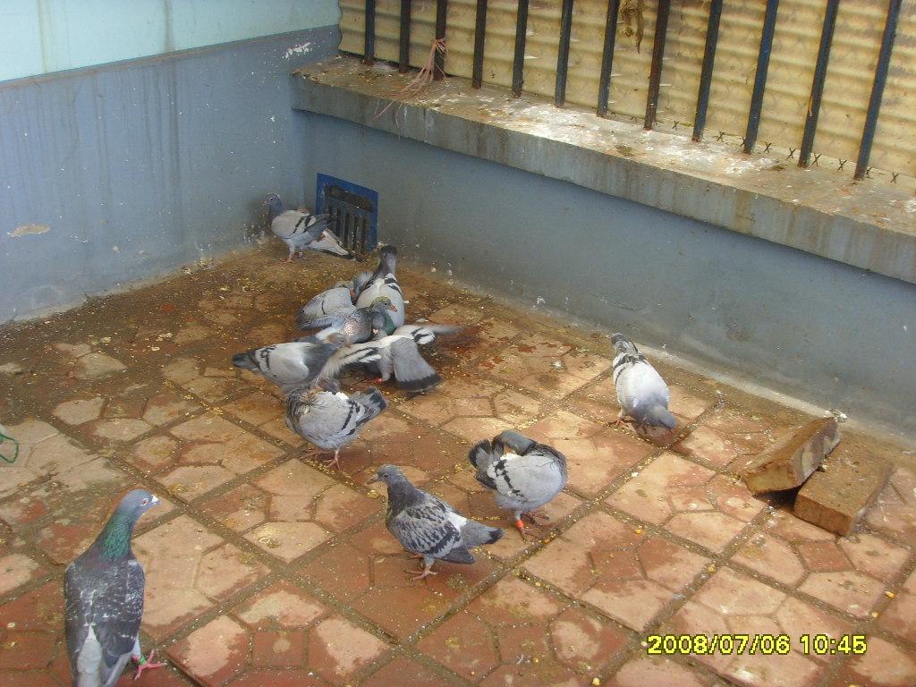 批发: 鸽子蛋; 禽蛋-批发 : 鸽子蛋-禽蛋尽在阿里巴巴-江苏泰州家鸽
