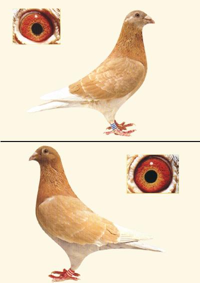 牡丹鸽鸽子鸡鸟鸟类400_566竖版竖屏蓝鹦鹉动物能长多大图片