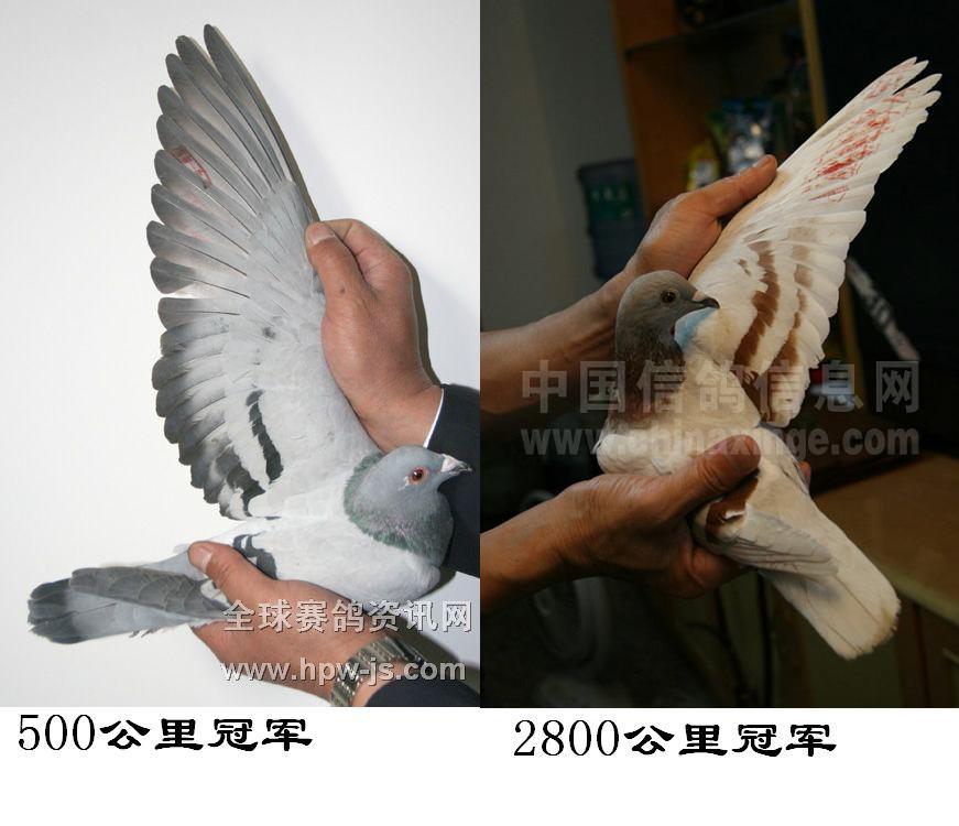 翅膀会动鸽子的折法图解