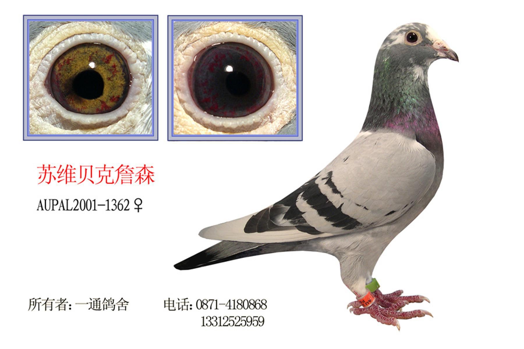 了解鸽子品种,请指点