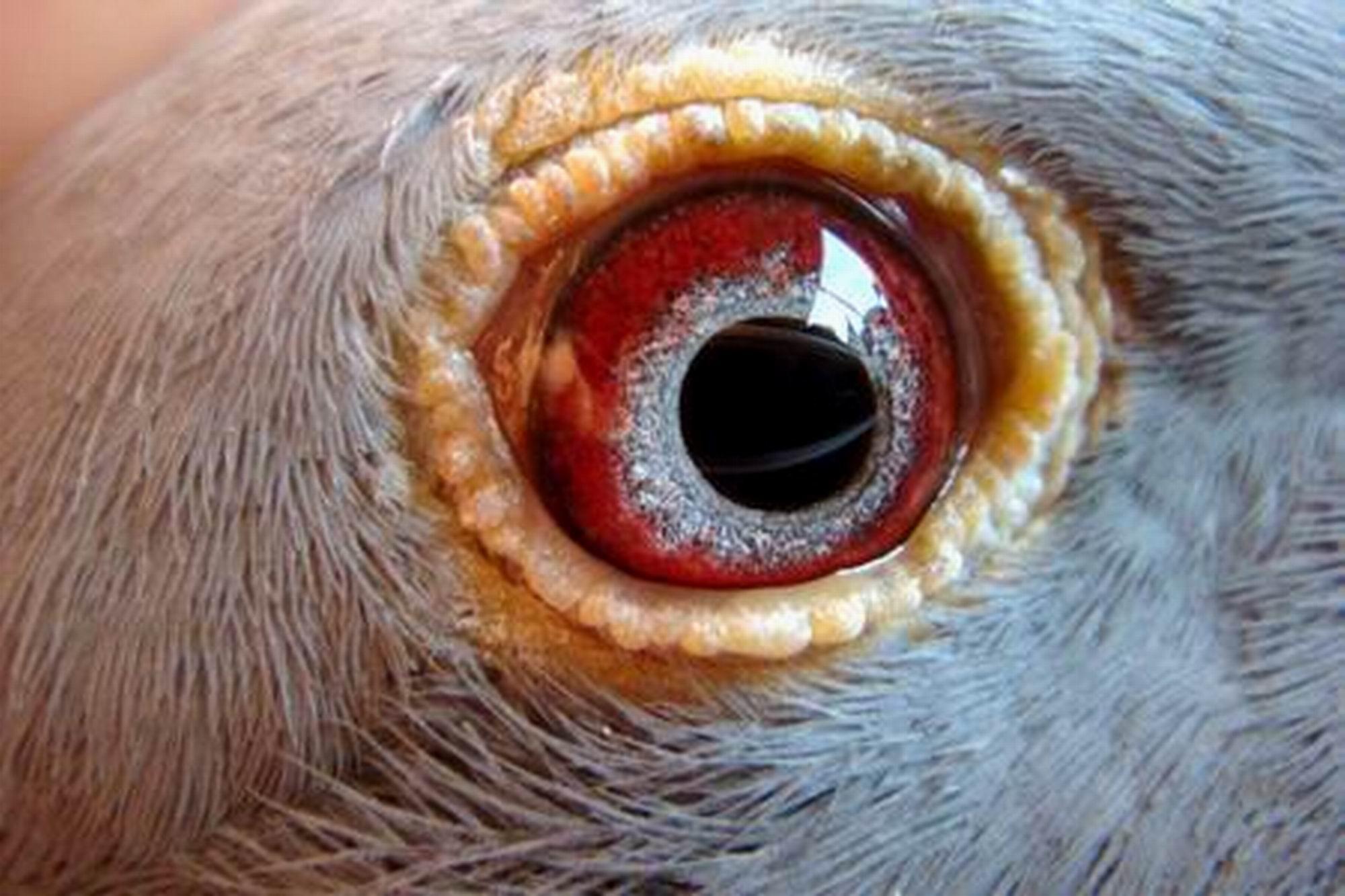 鸽子的眼睛能否分辨颜色