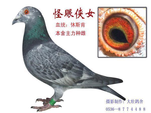 超远程信鸽鸽眼图片图片大全 鸽眼奇芭 珍珠眼 图 中国信鸽