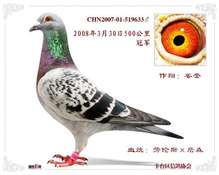 我看看这羽雌鸽配什么样眼睛的雄鸽好图片