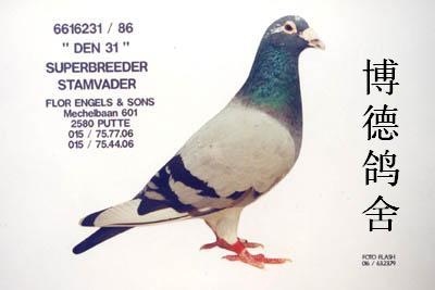 英格斯231vs凡龙出的这羽小鸽子,象231吗?谁有231的图片发来看看