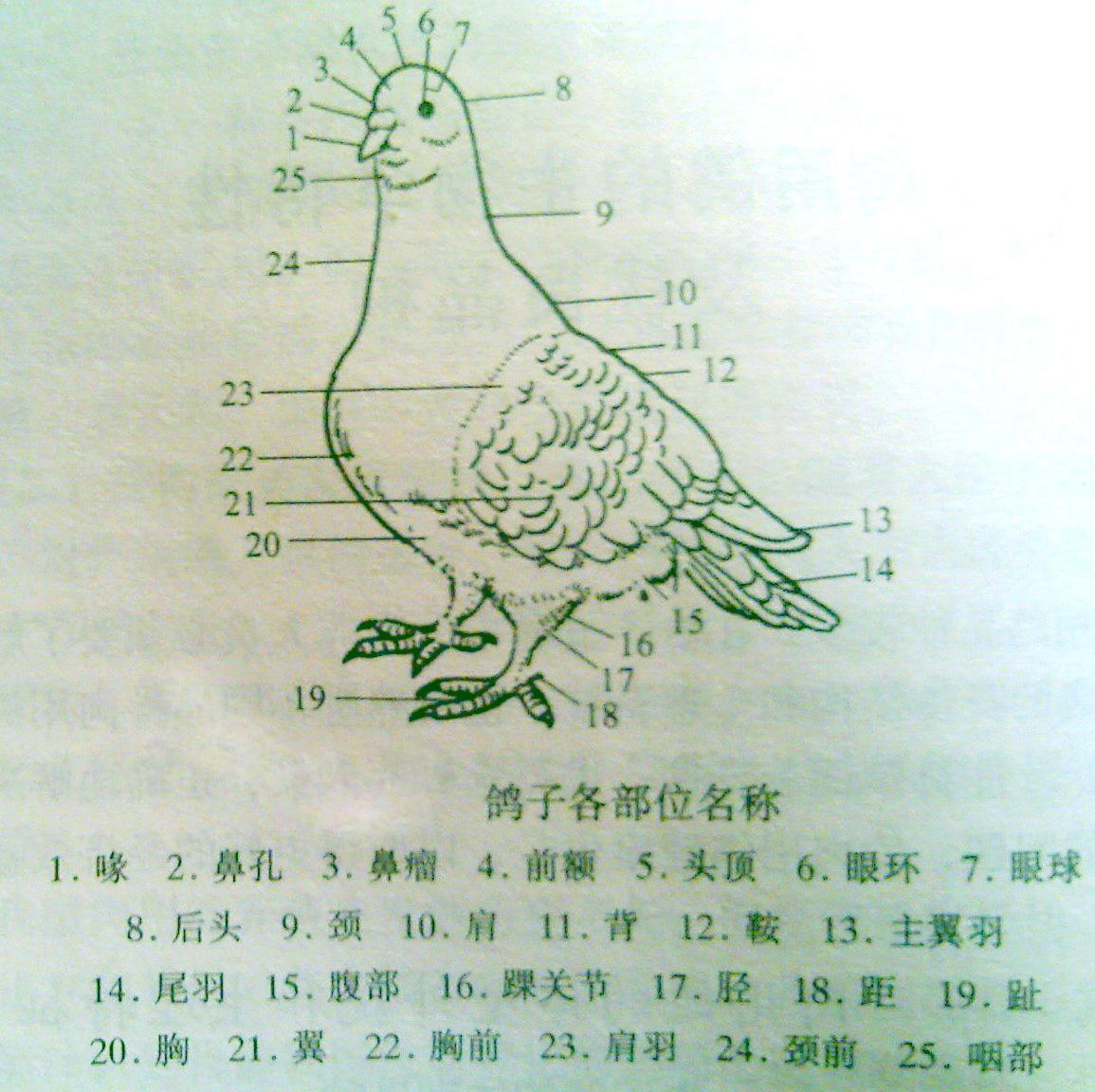 请问鸽子疫苗注射脖子的方法