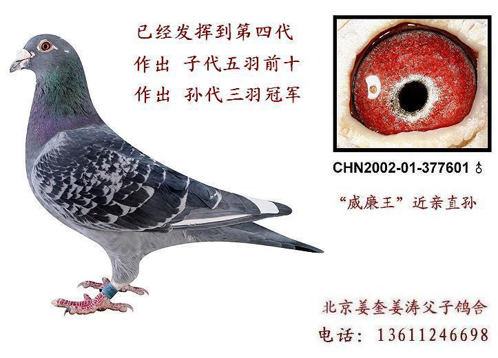 种鸽眼和赛鸽眼有何区别