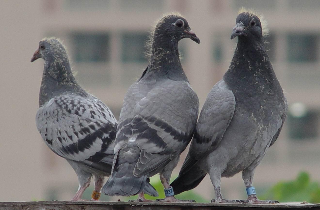 动物鸽鸟类鸟鸽子1320_868细沙怎么喂鹦鹉图片