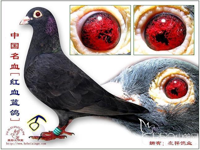 网上最近两年流传着很多红血蓝鸽的照片,上图就是其中最大的一个例子。开始我也觉得很高兴,毕竟是咱们中国鸽界的骄傲。但是去年一次在昆明鸽市偶然看到了一笼这样的鸽子才让我慢慢了解了网上所谓红血蓝鸽的真相。我利用闲暇时间调查,对比,以及到昆明当地鸽友家实鸽观看,我认为网上流产的红血蓝鸽100%是假的! 首先它跟资料上红血蓝的特征,完全的不吻合!请看红血蓝鸽的详细资料:原产地是福建漳州龙海县,它和戴笠鸽、中国蓝鸽合称支那三杰。红血蓝的特征在于眼砂,宝蓝色的底砂,配上成块的血红色面砂,并以此得名   红血蓝有几个分