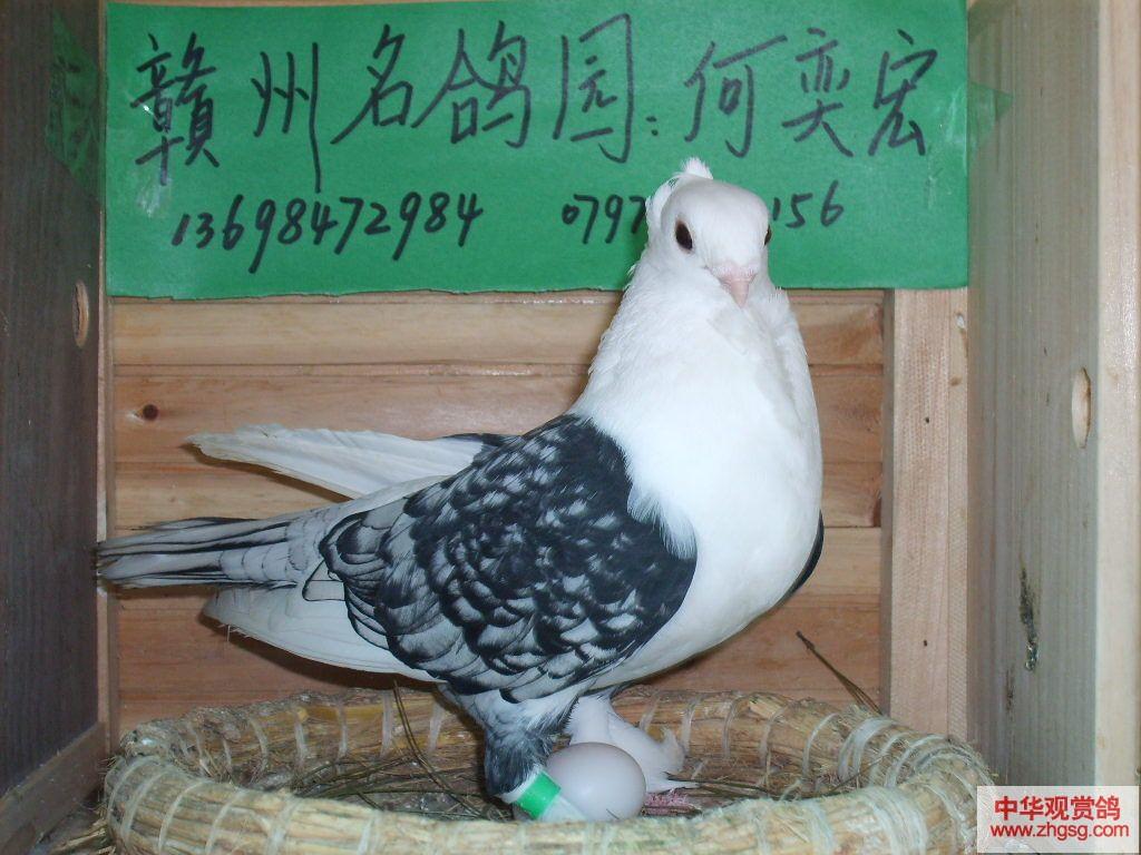 观赏鸽子品种大全_观赏鸽子图片_怎么养鸽子_大鼻子鸽子多少钱_淘宝助理