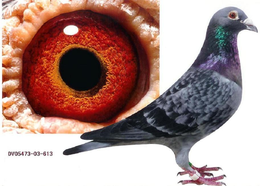 谁有石板信鸽的图片