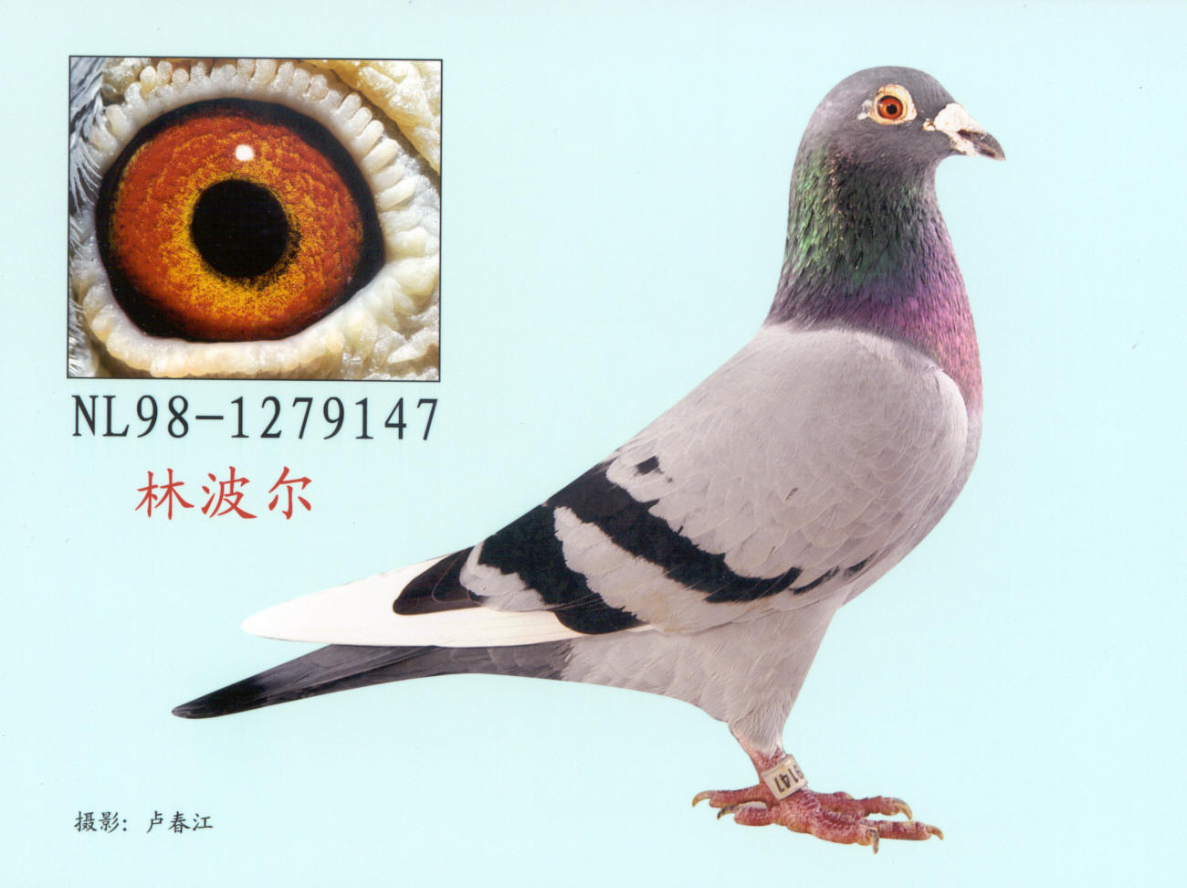 哪位朋友给传一张纯林波尔系信鸽的照片