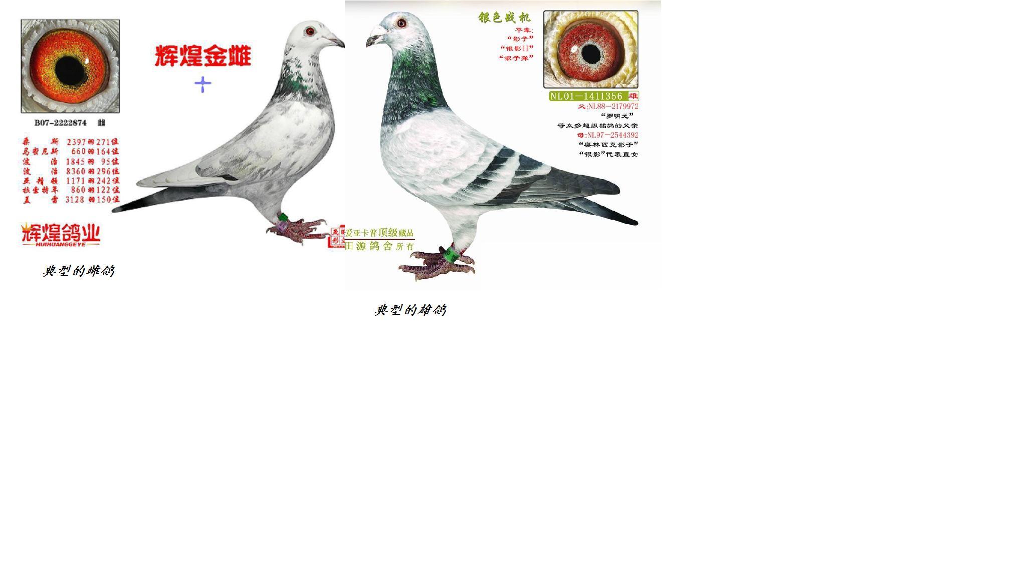 怎么看区分鸽子公母准些图片