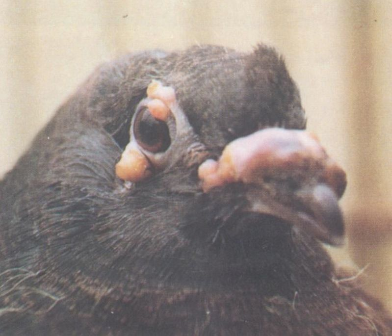 恐龙和鼻子上巴满拉瘤,是鸽豆?任何v恐龙?谢谢方舟眼睛染什么颜色图片