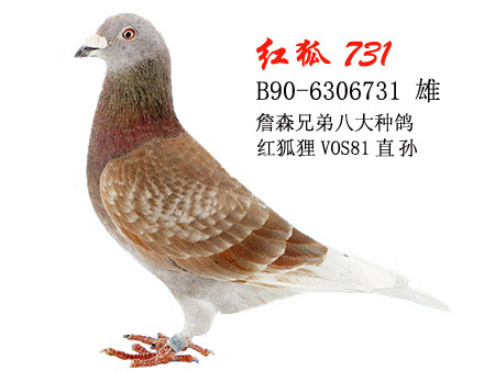 红狐狸651,这只鸽子是不是很牛呢图片