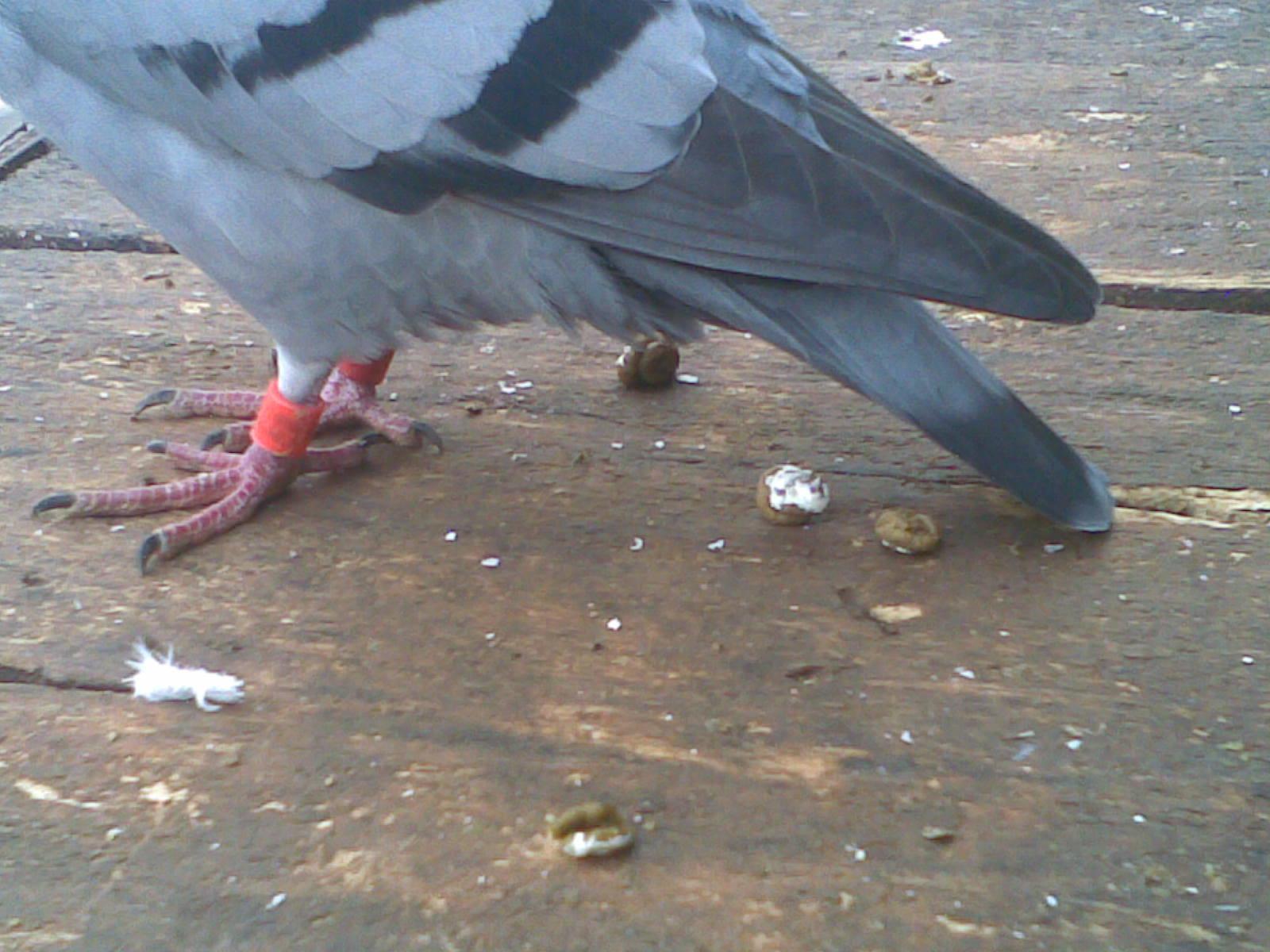 鸽子什么样的粪便是正常的图片