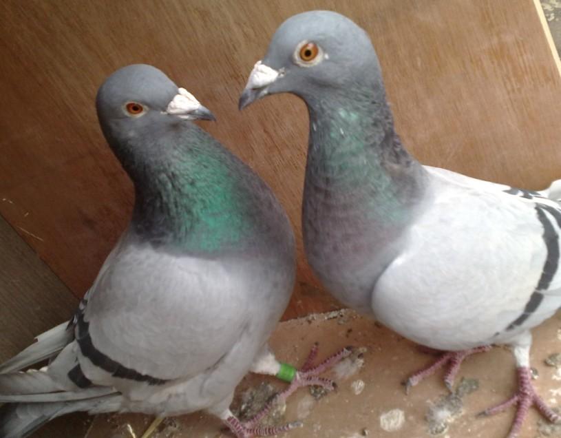 怎样识别鸽子的公母图片