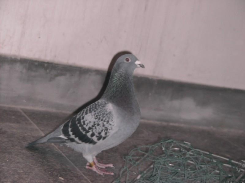 是母,看起来这鸽子怎么样图片