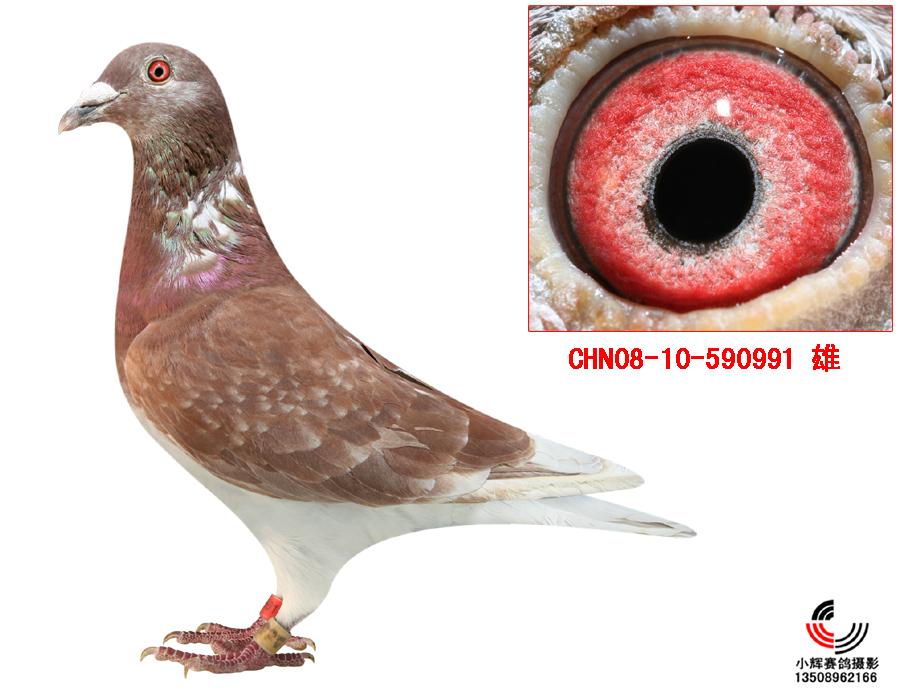 这鸽子是毛脚红狐520的直子象吗图片