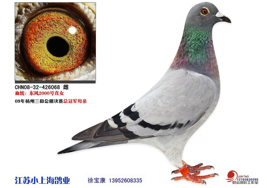 请教一下这只鸽子如何配对好图片