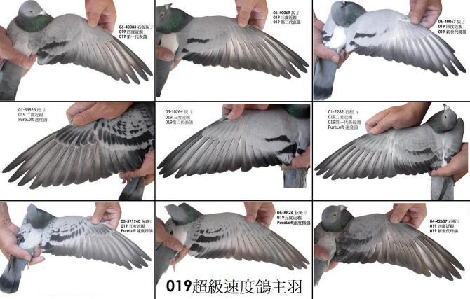 杨阿腾/杨阿腾的鸽子怎样配对...
