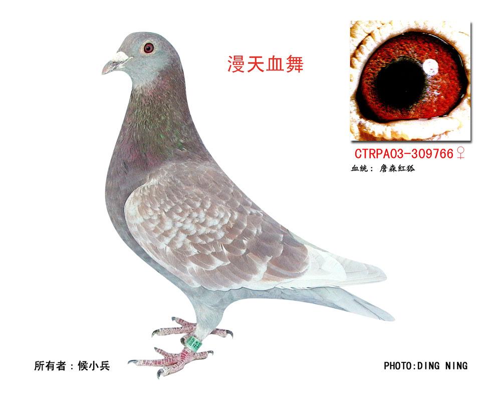 无敌号 的血统配什么血统的鸽子好 请教了图片