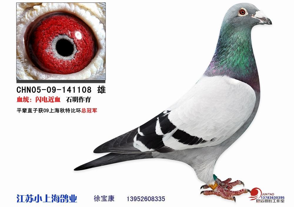 的雨白条雌鸽,配什么样的眼砂的雄鸽比较好图片