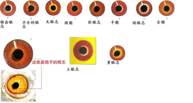 1 信鸽什么样眼砂适于或远程比赛呢 信鸽眼睛 瞳孔椭圆 层次分明呈梯