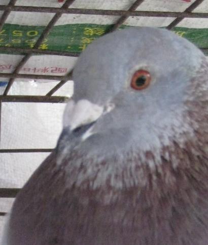 鸽子分公母图解图片大全 吧唧嘴的是母鸽子.图片