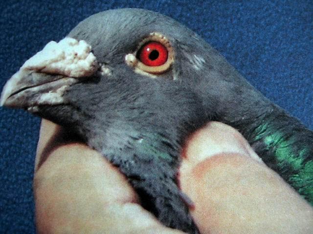 鸽子公母鉴别图片大全 鸽子怎么分辨公母 已解决