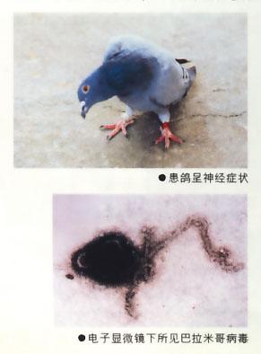 鸽子新城疫的治疗_鸽子副伤寒病什么正状 怎么治疗-天下鸽问-ask.chinaxinge.com