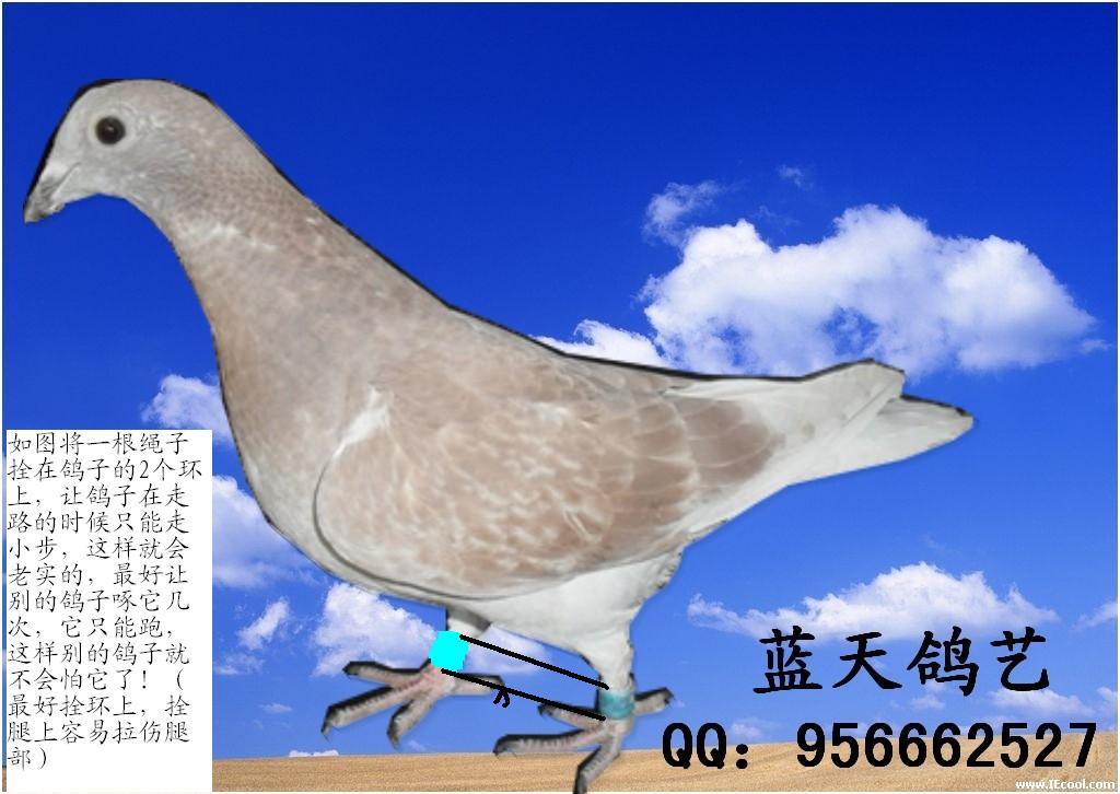 这是一羽不可多得的强壮鸽。说明它体格十分强健。如果每次开棚时,它也是第1一个冲出鸽舍,第一个飞上天空,在群飞时它也是领头鸽,那末就可以肯定是优良鸽。 处理非常简单,将它的窝移到上面窝格去,远离食糟、饮水器。 此外,或许您喂食的方法有些问题?一般我们是应该先放食糟,呼唤鸽子进棚,然后开始撒食,容鸽群一起抢食,等到有1-2羽鸽子吃饱,走向饮水器时,就该停止撒食。一般只要将鸽群喂到八分饱,当它们还想再吃一口的时候,就将食糟拿走了(或者食槽已经空了),至于那些晚进棚的、磨磨蹭蹭的鸽子就让它饿一餐。这样你就一定能将