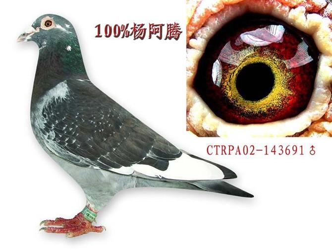 杨阿腾 写真 中国/介绍一下杨阿腾的鸽子,如:羽......