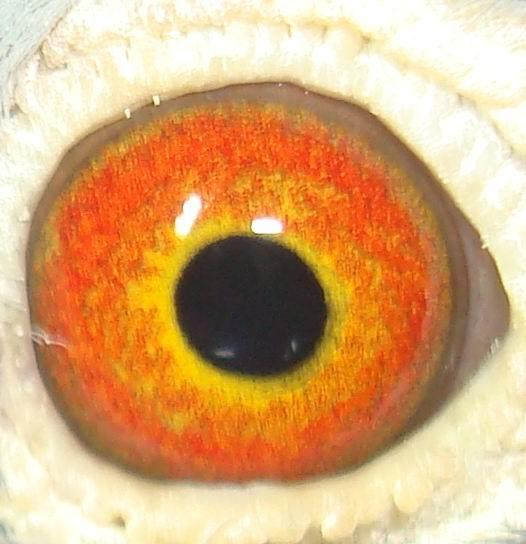 宽眼志信鸽图片 信鸽眼志配对图片 求信鸽眼志图片-信鸽眼志图解图集