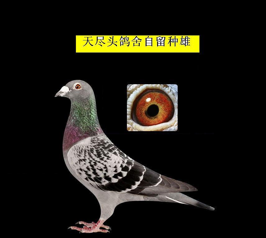 赛鸽眼睛与速度1