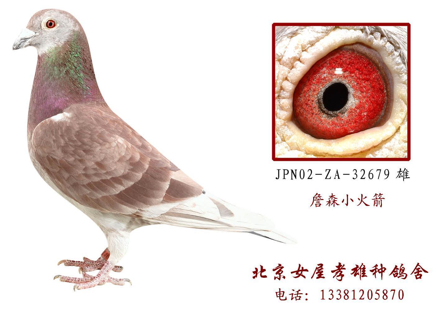 赛鸽眼睛与速度的秘密--有高清图片
